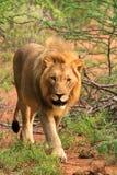 Het jonge mannelijke leeuw lopen Royalty-vrije Stock Fotografie