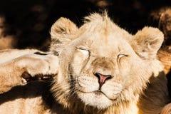 Het jonge mannelijke leeuw rusten Royalty-vrije Stock Foto's