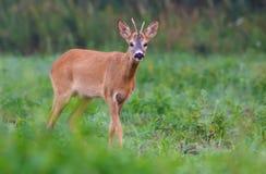 Het jonge Mannelijke Ree kijkt met rente op groene grasweide in de vroege zomerdag stock afbeeldingen