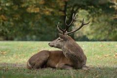 Het jonge mannelijke rode herten rusten stock fotografie