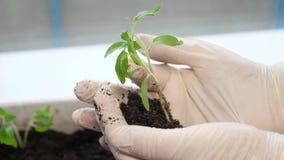 Het jonge meisje houdt handvol van grond met weinig groene installatie stand Concept en symbool van de groei, zorg, duurzaamheid stock footage