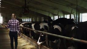 Het jonge meisje loopt dichtbij koeien bij het landbouwbedrijf stock video