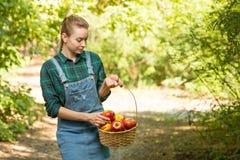Het jonge mooie landbouwbedrijfmeisje oogst appelen Het concept de zomer of de herfstoogst met lege ruimte voor het schrijven royalty-vrije stock fotografie