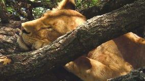 Het jonge Nationale Park van Manyara van het leeuwenmeer stock video