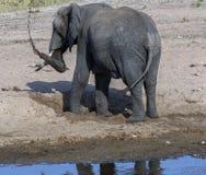 Het jonge olifant spelen op zandig rivierbed stock foto's