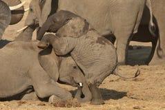 Het jonge olifanten spelen Stock Foto's