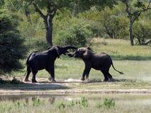 De olifanten bespotten het vechten Stock Fotografie