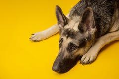 Het jonge Oosteuropese portret van de herdershond op a op gele rug stock fotografie