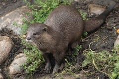 Het jonge otter stellen royalty-vrije stock afbeelding