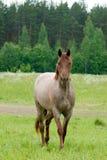 Het jonge paard Stock Foto's