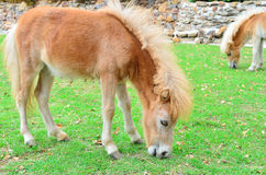 Het jonge paard eet gras bij landbouwbedrijf Stock Afbeelding