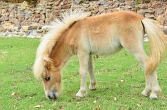 Het jonge paard eet gras bij landbouwbedrijf Stock Foto's