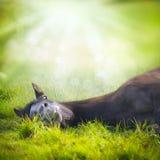 Het jonge paard liggen en blikkenpret op achtergrond van groene gras en aard met Zonstralen Royalty-vrije Stock Afbeelding