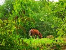 Het jonge paard weidt in het bos in de zomer stock foto