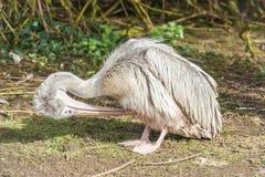Het jonge pelikaan gladstrijken Royalty-vrije Stock Foto's