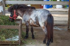 Het jonge poney eten Stock Afbeelding