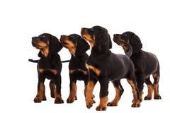 Het jonge puppy van de gordonzetter op witte achtergrond Royalty-vrije Stock Foto