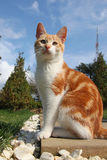 Het jonge rode kat stellen Royalty-vrije Stock Foto's
