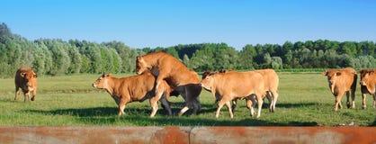 Het jonge rode stieren spelen Stock Fotografie