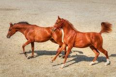 Het jonge speelse paarden lopen vrij in het zand stock foto's