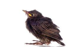 Het jonge starling met worm Royalty-vrije Stock Fotografie