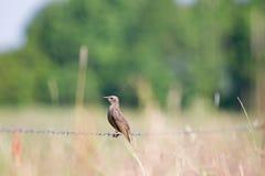 Het jonge starling zit op het prikkeldraad Royalty-vrije Stock Afbeeldingen