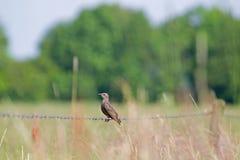 Het jonge starling zit op het prikkeldraad Royalty-vrije Stock Afbeelding
