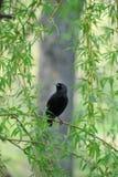 Het jonge starling zit op tak van wilg. Royalty-vrije Stock Fotografie