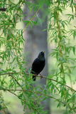 Het jonge starling zit op tak van wilg. Royalty-vrije Stock Afbeelding