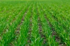 Het jonge tarwe groeien in de gebieds keurige rijen Stock Foto