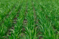 Het jonge tarwe groeien in de gebieds keurige rijen Royalty-vrije Stock Afbeeldingen