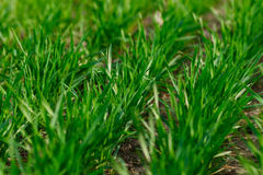 Het jonge tarwe groeien in de gebieds keurige rijen Stock Foto's
