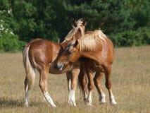 Het jonge Verzorgen van de Paarden van de Stempel van Suffolk Royalty-vrije Stock Foto's