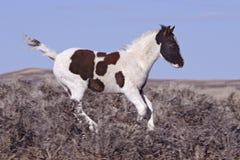 Het jonge Veulen van de Mustang stock foto's