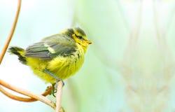 Het jonge vogeltje Blauwe van de Mees (caeruleus Cyanistes). Stock Afbeelding