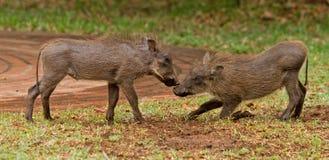 2 het jonge Wart Hogs-spelen Royalty-vrije Stock Afbeelding