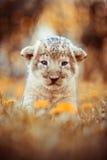 Het jongzitting van de Afrikaanse leeuw in het gras Royalty-vrije Stock Foto