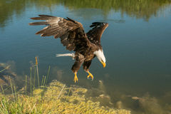 Het kale adelaar landen Stock Foto's