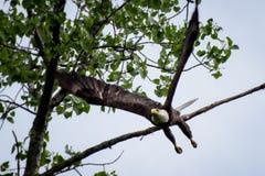 Het kale adelaar opstijgen Stock Afbeeldingen
