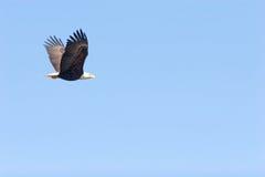Het kale adelaar vliegen royalty-vrije stock afbeelding