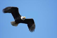 Het kale adelaar vliegen Royalty-vrije Stock Afbeeldingen
