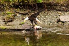 Het kale adelaar voeden Stock Afbeelding