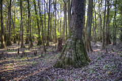 Het kale bos van de Cipres, Nationaal Park Congaree Royalty-vrije Stock Afbeeldingen