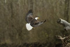 Het kale Eagle In Flight With Fish-Opstijgen Royalty-vrije Stock Fotografie