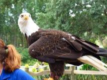 Het kale hoofd van Eagle van Verenigde Staten met een onscherpe achtergrond stock afbeelding