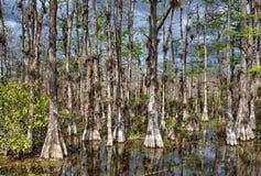 Het kale Moeras van Cipresbomen in grote Cipres stock foto