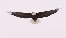 Het kale vliegen van de Adelaar royalty-vrije stock foto's
