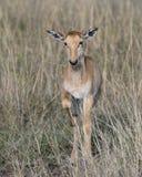 Het kalf die van close-up frontview Topi zich in gras met hoofd bevinden hief het kijken naar camera op Royalty-vrije Stock Fotografie