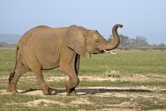 Het kalf die van de olifant boomstam opheffen Stock Afbeeldingen