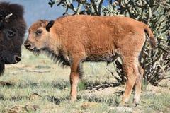 Het kalf en de moeder van bizonbuffels Royalty-vrije Stock Fotografie